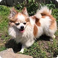 Adopt A Pet :: Mugsy - Buffalo, NY