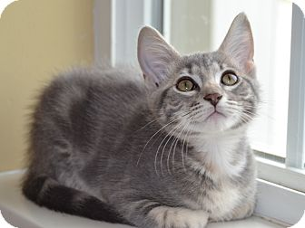 Domestic Shorthair Kitten for adoption in Larned, Kansas - Buttons