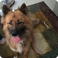 Belgian Malinois/Golden Retriever Mix Dog for adoption in Rockville, Maryland - James