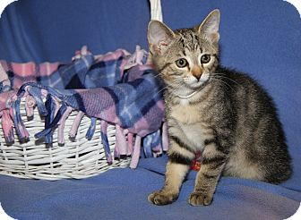 Domestic Shorthair Cat for adoption in Marietta, Ohio - Oatmeal (Spayed)