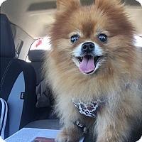 Adopt A Pet :: Gidget - Norman, OK