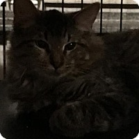 Maine Coon Kitten for adoption in Hammond, Louisiana - Mitch