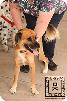 Anatolian Shepherd Mix Dog for adoption in Staunton, Virginia - Nacho