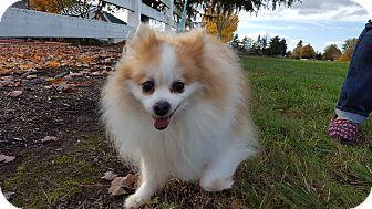 Pomeranian Dog for adoption in Vancouver, Washington - Juno
