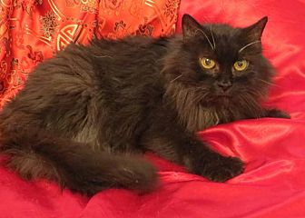 Domestic Longhair Cat for adoption in St. Louis, Missouri - Evangeline