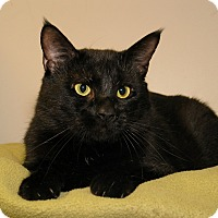 Domestic Shorthair Cat for adoption in Milford, Massachusetts - Rumplestiltskin