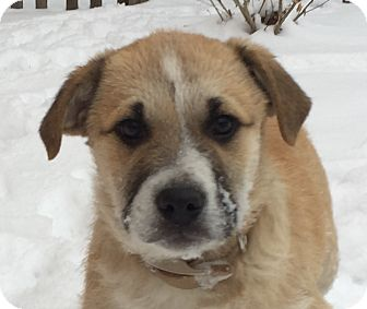 Shepherd (Unknown Type)/Great Pyrenees Mix Puppy for adoption in Mt. Prospect, Illinois - Pfeffernussen
