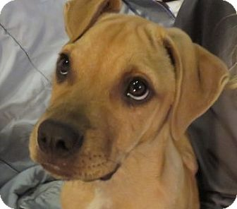 Black Mouth Cur/Labrador Retriever Mix Puppy for adoption in St Petersburg, Florida - Benny! ADORABLE Puppy!