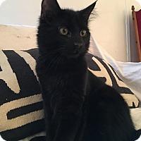Adopt A Pet :: Freddy - Brooklyn, NY