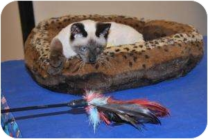 Siamese Kitten for adoption in Prescott, Arizona - China