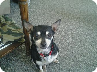 Chihuahua Dog for adoption in Hilliard, Ohio - Mickey
