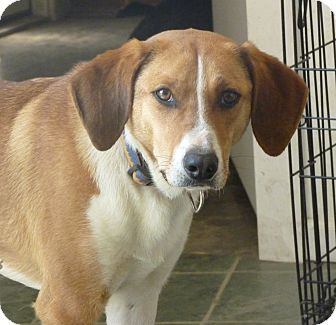 Hound (Unknown Type) Mix Dog for adoption in Paron, Arkansas - JUNIOR