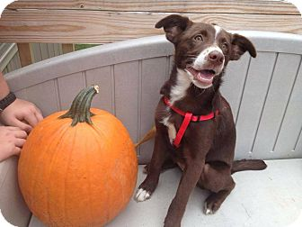 Border Collie Mix Puppy for adoption in Burlington, New Jersey - Sasha