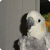 Adopt A Pet :: Special Needs Citron Cockatoo - Vancouver, WA