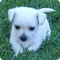 Adopt A Pet :: Bear - La Habra Heights, CA