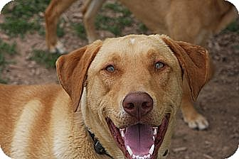 Labrador Retriever Mix Dog for adoption in Russellville, Kentucky - Tucker