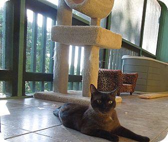 Burmese Cat for adoption in Makawao, Hawaii - HERSHEY