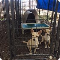 Adopt A Pet :: Tom & Jerry - Fair Oaks Ranch, TX