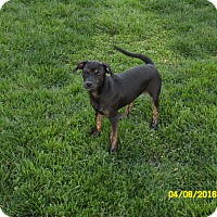Adopt A Pet :: Female chiweenie - mooresville, IN