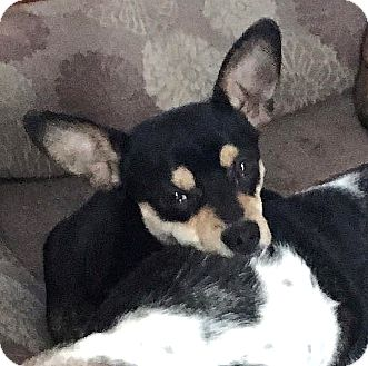 Rat Terrier/Corgi Mix Dog for adoption in Tijeras, New Mexico - Porter