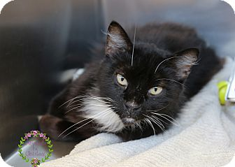 Domestic Longhair Cat for adoption in Sierra Vista, Arizona - Jessie