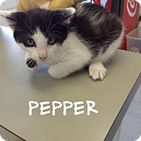 Domestic Shorthair Kitten for adoption in Dillon, South Carolina - Pepper