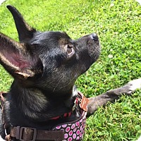 Chihuahua Mix Dog for adoption in Surrey, British Columbia - Stella