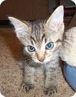 Domestic Shorthair Kitten for adoption in Colorado Springs, Colorado - Koro
