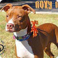 Adopt A Pet :: Roxy Rue - Newport, KY