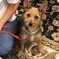 Yorkie, Yorkshire Terrier Mix Dog for adoption in Waco, Texas - Pumpkin Spice