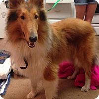 Collie Dog for adoption in Leesville, South Carolina - Jax