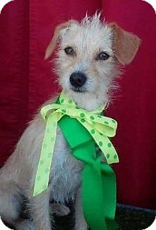 Terrier (Unknown Type, Small) Mix Puppy for adoption in Corona, California - GUS