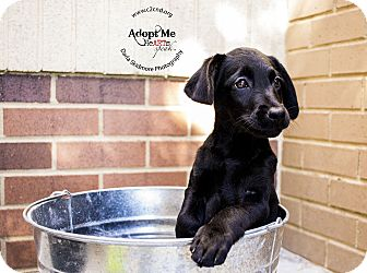 Labrador Retriever/Terrier (Unknown Type, Medium) Mix Puppy for adoption in Mooresville, North Carolina - Creepy (Addams Family Litter)
