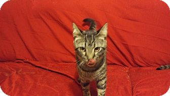 Domestic Shorthair Cat for adoption in Exton, Pennsylvania - Jonathan (Foster)