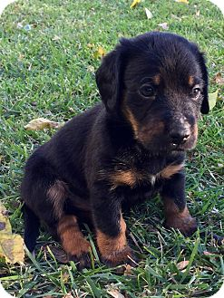 Dachshund Mix Puppy for adoption in Wichita Falls, Texas - Cody