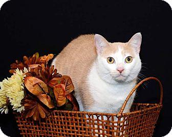 Domestic Shorthair Cat for adoption in Garden City, Michigan - Molly Sue