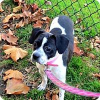 Adopt A Pet :: Bree - Pittsburgh, PA