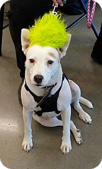 Jack Russell Terrier/Hound (Unknown Type) Mix Dog for adoption in Camden, South Carolina - Blanca