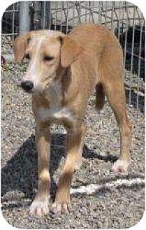 Labrador Retriever/Basset Hound Mix Puppy for adoption in Middletown, New York - Mustang