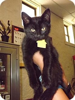 Domestic Shorthair Kitten for adoption in Fort Riley, Kansas - Athena