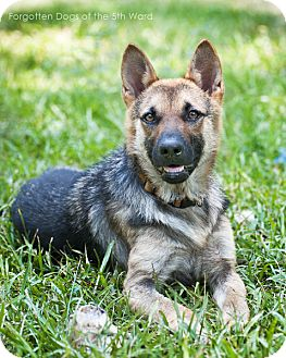 German Shepherd Dog Dog for adoption in Houston, Texas - Juliet
