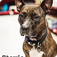 Adopt A Pet :: Stevie - Detroit, MI