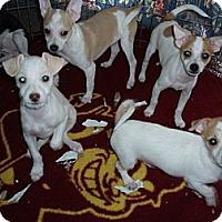 Adopt A Pet :: New Designer Breed - Phoenix, AZ