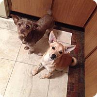 Adopt A Pet :: Princess - selden, NY
