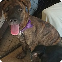Adopt A Pet :: Brindi - richmond, VA