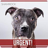 Adopt A Pet :: Shamrock - Decatur, GA