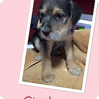 Adopt A Pet :: Cindy - Scottsdale, AZ