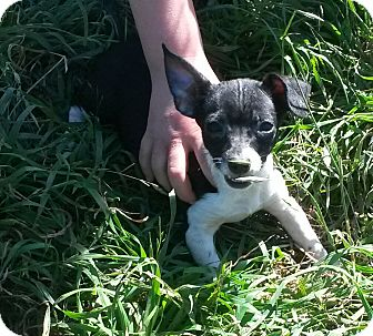 Chihuahua/Rat Terrier Mix Puppy for adoption in East Hartford, Connecticut - Gretel