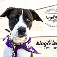 Adopt A Pet :: Sasha Bear - Mooresville, NC