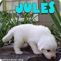 Adopt A Pet :: Jules in NY / pup - adopted - Beacon, NY